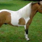Mini poney a donner
