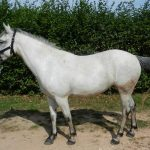 Grand poney a vendre