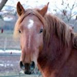 Chevaux de trait a adopter