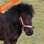 Adoption poney
