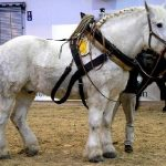 Percheron a donner